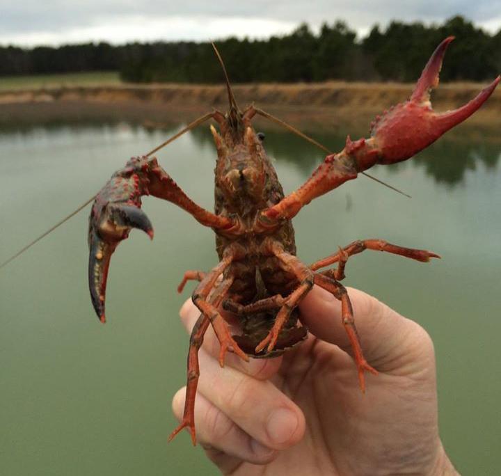 Eastern NC Crawfish Farm