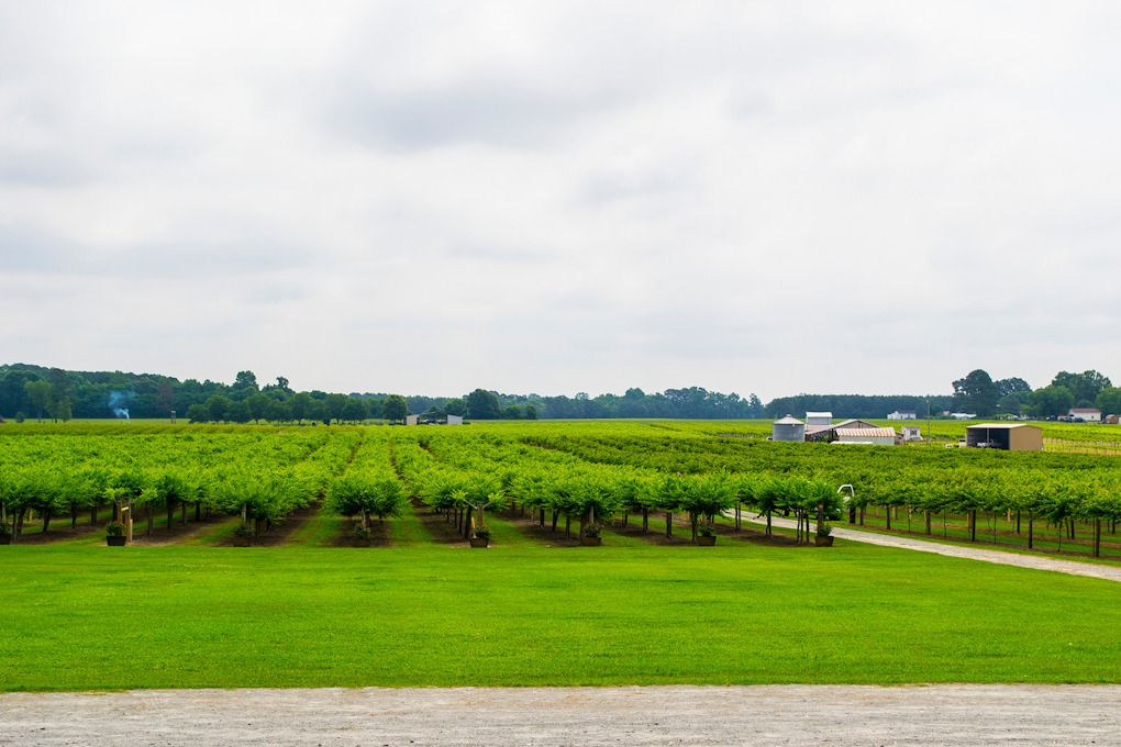 Vineyard at Hinnant Winery in Pine Level, NC.